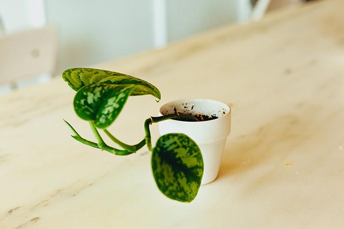 heart-leaf-office-plants