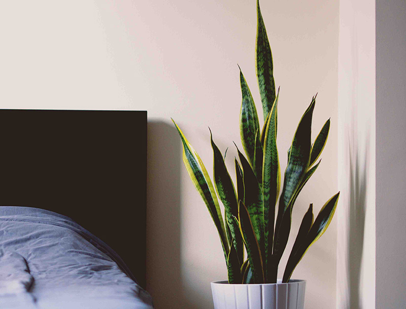 snake-office-plants