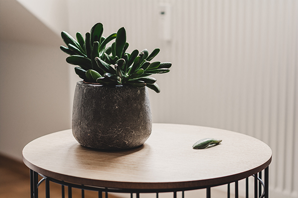 One Of The Best Plants For Office Displays, Crassula Ovata (the Jade Plant)  Can Survive On Less Light Than Other Succulents. Its Dark Green Leaves  Utilize ...